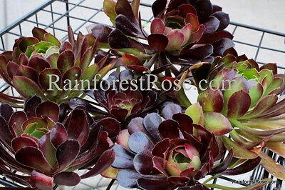 6 cuttings Aeonium Arboreum red//green  Cactus Succulents plant Rose cactus