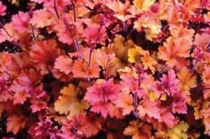 Heuchera x Hybrida 'Marmalade' Perennial Large Garden Plug Plants Pack x6
