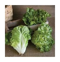David's Garden Seeds Chicory Escarole Natacha D2614 (green) 200... Free Shipping