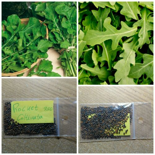 Rucola Rocket /'/'Coltivata/'/' ~250 Top Quality Seeds Healthy Green Organic