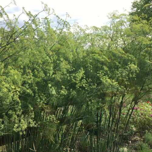 Wilder Fenchel Foeniculum vulgare Bitterfenchel Urform der bekannten Heilpflanze