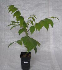 Black Walnut, Juglans nigra trees.  30cm in 1Litre Pot.