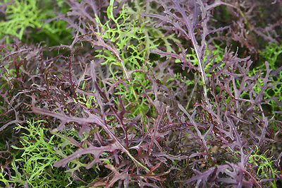 VEGETABLE  MUSTARD MIZUNA RED STREAKED  5 GRAM ~ 3500 SEEDS