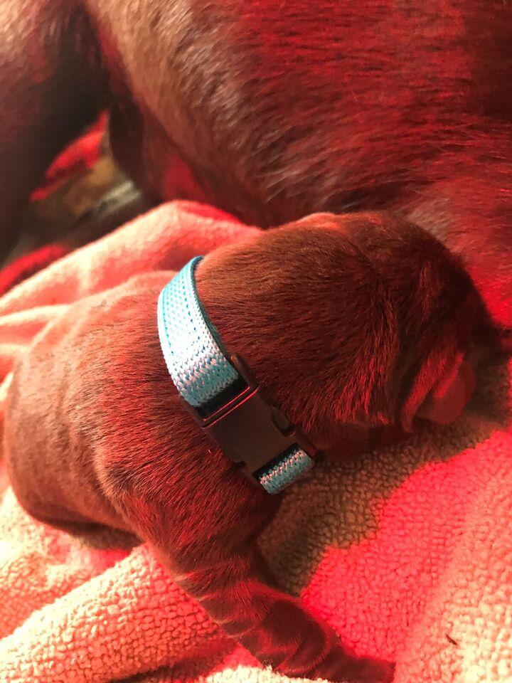 Labrador, hvalpe, 8 uger