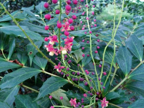 Mahonia gracilipes 10 graines