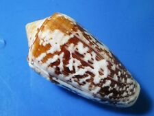CONUS FLOCCATUS 58.7  mm F++ ,VERY NICE PATTERN THICK AND HEAVY wow!!