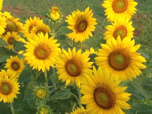 13 grams approx 165 seeds Sunflower seeds common Sunflower