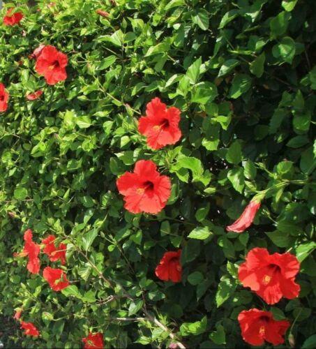 Pianta di Hibiscus Ibiscus Cespuglio arredo giardino vaso 7