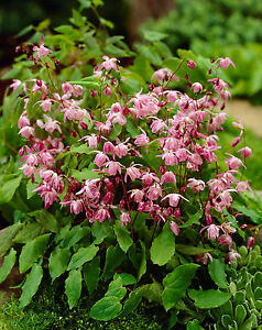 Epimedium-youngianum-Roseum-perennial-plant-ideal-ground-cover-9cm-pot