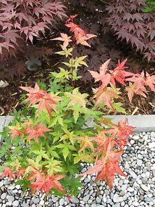 Acer-palmatum-Beni-Maiko-60-70cm-Japanahorn-Zwergahorn-bunter-Faecherahorn