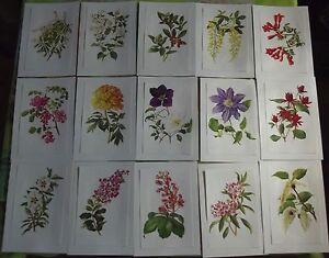15-Ancienne-Affiches-Scolaire-Botanique-1972-Clematis-Pivoine-Cistus-Skimmia
