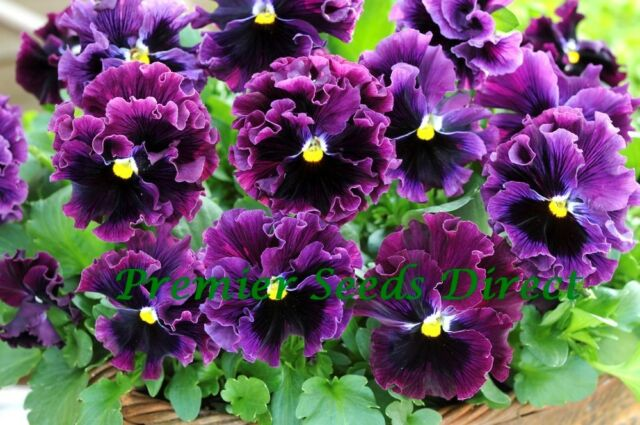 FLOWER PANSY WINTER FLOWERING FRIZZLE SIZZLE F1 BURGUNDY 25 SEEDS