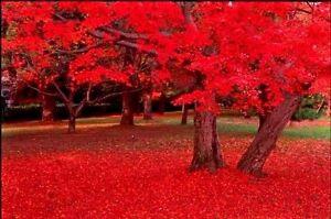 25 Carolina Red Scarlet Maple Tree Acer Rubrum Seeds Ebay