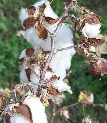 25 WHITE COTTON Gossypium Seeds + Gift & Comb S/H