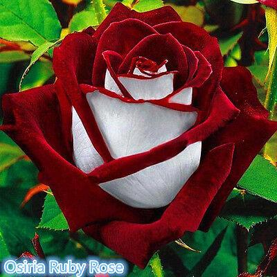 100pcs Rare Red & White Osiria Ruby Rose Flower Seeds Home Garden Plant Gift
