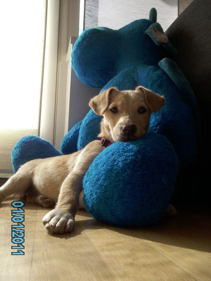 Lillo & stitch - hvalp