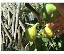 BLACK MADEIRA 1 x FIG Tree Plant
