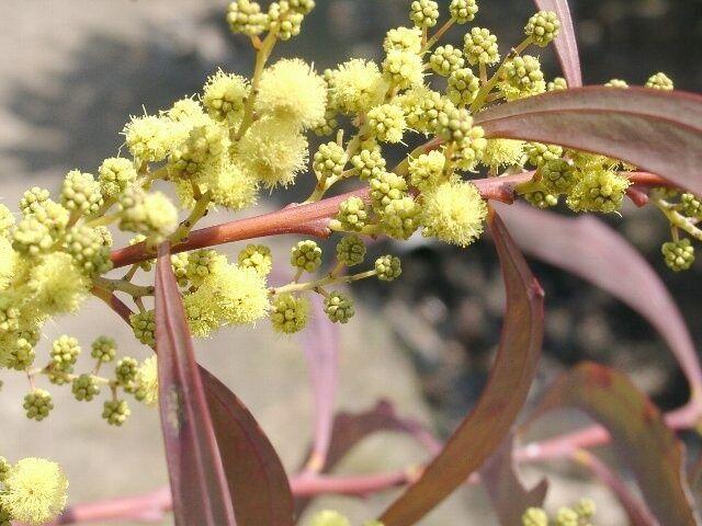 RED-STEMMED WATTLE (Acacia rubida) 30 seeds