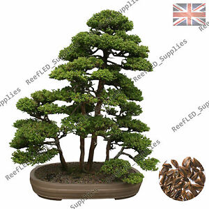 Rare Sacred Japanese Cedar Semilla Bonsai Tree Plant 10 Viable Seeds Uk Supply Ebay