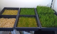 Wheatgrass,HARD RED SPRING ,ORGANIC 2 LB Heirloom, Non-gmo Seed, FREE SHIPPING
