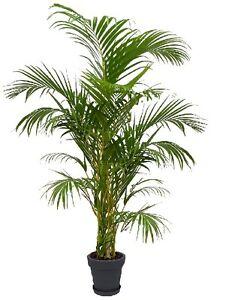 oro frutto palma ufficio pianta chrysalidocarpus lutescens arecapalme stanza pianta ebay. Black Bedroom Furniture Sets. Home Design Ideas
