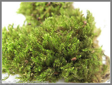 "Amblystegium sp Brazil Moss on 3"" Bogwood  Rare Live Aquarium Plant anubias"