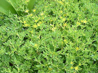 Seedum sarmentosum, great low-growing ground cover, 50+ square inches