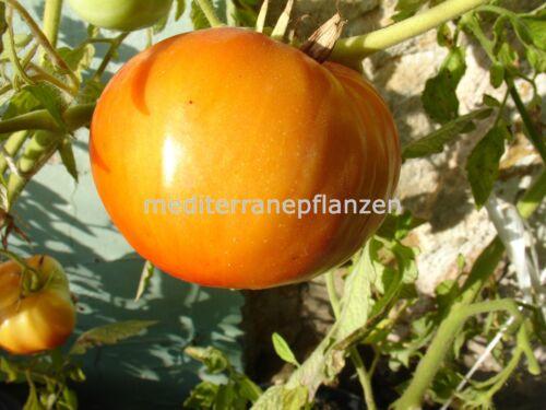 "Ungarische Historisch Sorte ""Soux Tomate"", alte Indianersorte,organische Sorte"