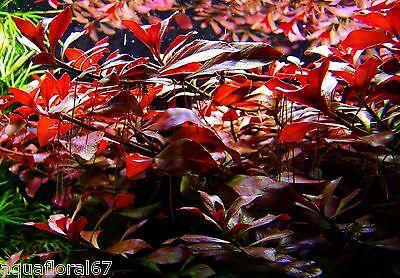 1Touffe de ludwigia  rouge rubis plante aquarium poisson filtre