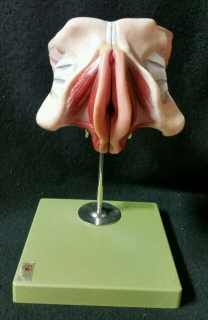 SOMSO Female Genital Organs W/ Rectum and Urinary Bladder - 4 Parts Ms5/1