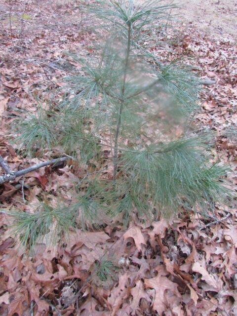 WHITE PINE TREE STARTER TREE SEEDLING 30 INCH TALL ITEM#REG