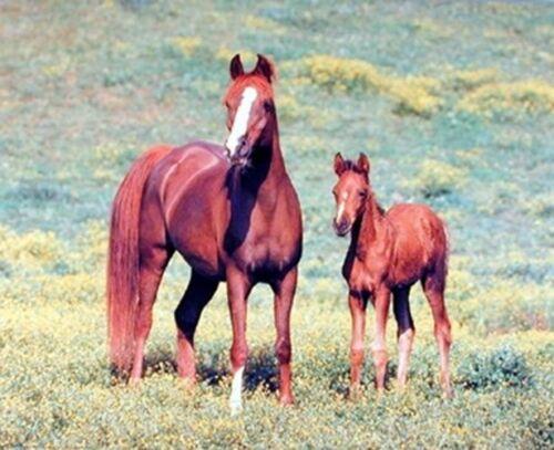 16x20 Arabian Horse Mare and Foal Animal Wall Decor Art Print Poster