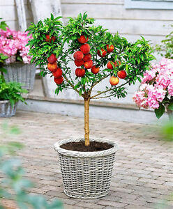 Peach-Tree-Seeds-Sweet-Peach-Seeds-Bonsai-Fruit-Seed-For-Home-Garden-Plants-Mini