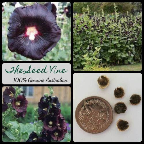 30 BLACK HOLLYHOCK SEEDS King Henry Cottage Garden Flower Alcea rosea nigra