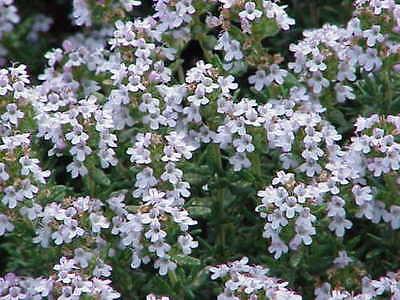 ** SUMPFZIEST Garten Pflanzen Samen winterharte Zierpflanze Saatgut Kräuter