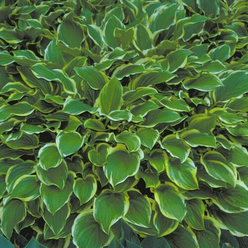 "hosta SO SWEET medium fragrant fast disease-free 2.5/"" pot = 1 Cut Potted Plant"