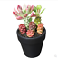 Monadenium-ritchiei-ssp-nyambense-paniculatus-Succulent-plants-potted-Plants thumbnail 4