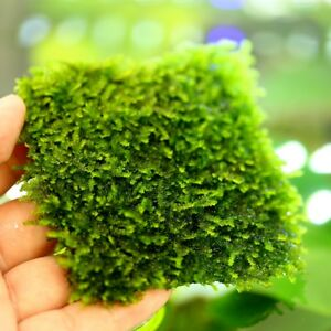 1pc-Aquarium-Water-Plants-Live-TAIWAN-Moss-pad-Decoration-Fish-Tank-Wall