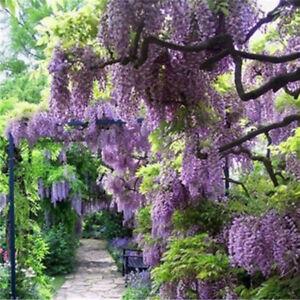40pcs Purple Wisteria Flower Seeds Wisteria Sinensis For Diy Home