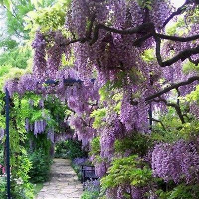 20x Purple Wisteria Flower Seeds Perennial Bonsai Climbing Plants Home Garden