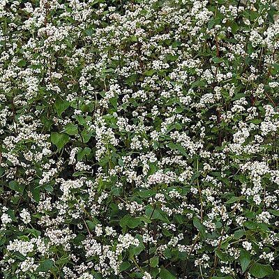 Green Manure Seeds - Buckwheat - 50gms