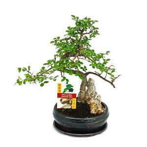 bonsai chinesische ulme ulmus parviflora felslandschaft ca 8 jahre ebay. Black Bedroom Furniture Sets. Home Design Ideas