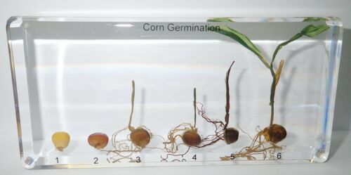Corn Life Cycle 6 Stages Development Set in Clear Block Education Plant Specimen