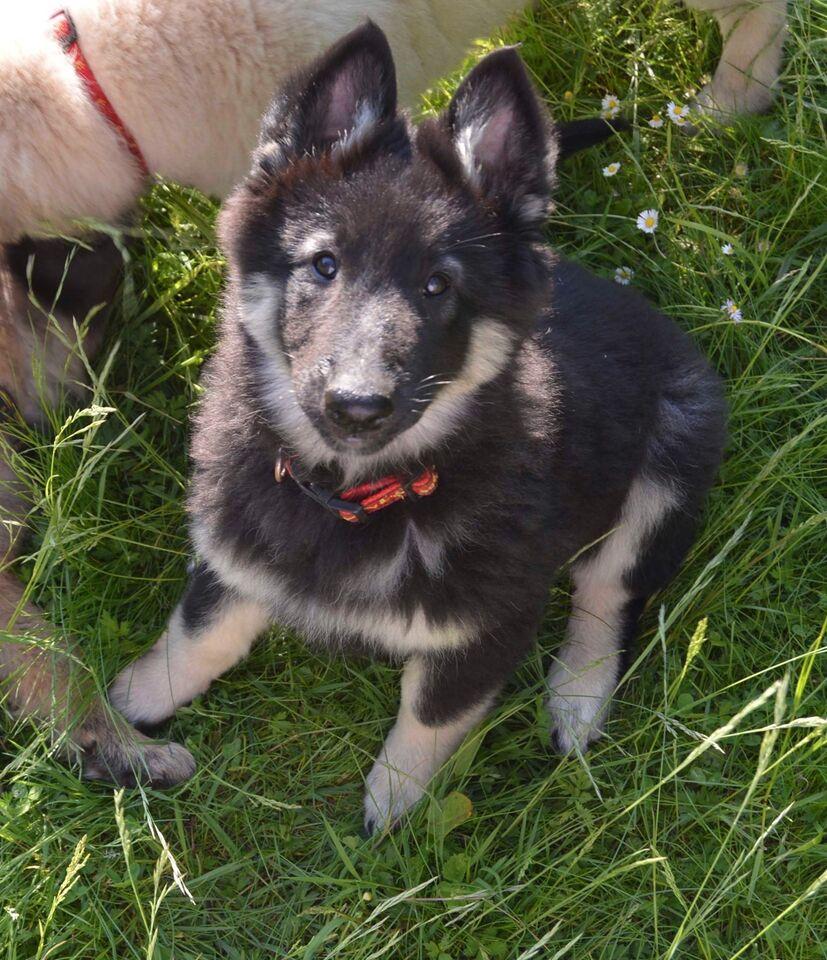 Tidssvarende Tervueren, Belgisk Hyrdehund, – dba.dk – Køb og Salg af Nyt og Brugt JX-34
