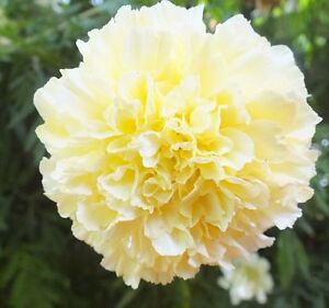 Rare snow white marigold tagetes kilimanjaro 30 heirloom flower image is loading rare snow white marigold tagetes kilimanjaro 30 heirloom mightylinksfo