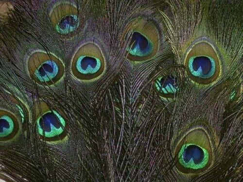 10 prachtvolle Natur-PFAUENFEDERN ca 80 cm ECHTE Pfauenaugen Schmuck-Federn Pfau