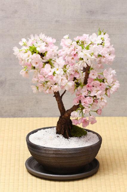20 seeds of Bonsai sakura tree home grow flowers
