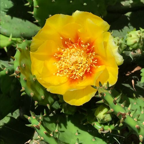 OPUNTIA HUMIFUSA 2 PADS Eastern Prickly Pear CACTUS devils tongue COLD HARDY