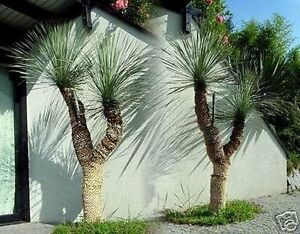 yucca rostrata sehr sch ne winterharte palmen f r den. Black Bedroom Furniture Sets. Home Design Ideas