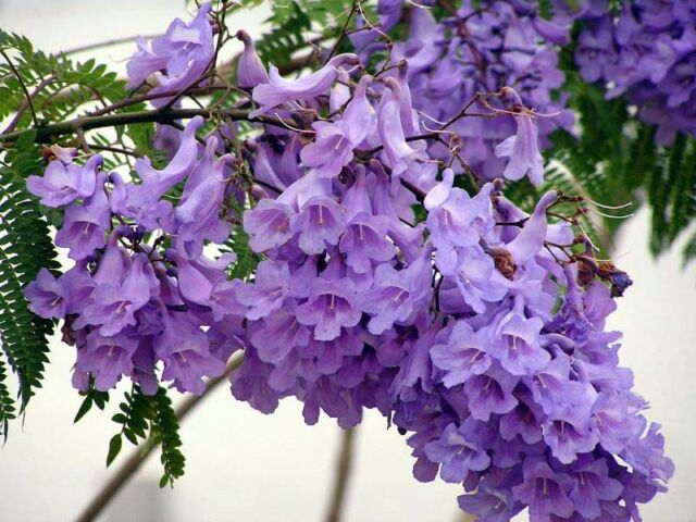 15+ FRESH Jacaranda Mimosifolia / Blue Jacaranda / Black Poui Tree Seeds